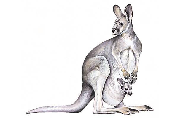 kangourou anglais kangaroo d'une langue indigène d ...