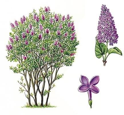 Encyclop die larousse en ligne lilas - Dessin de lilas ...