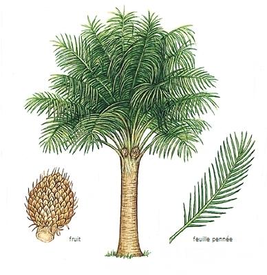 Encyclop die larousse en ligne palmier de palme - Type de palmier ...
