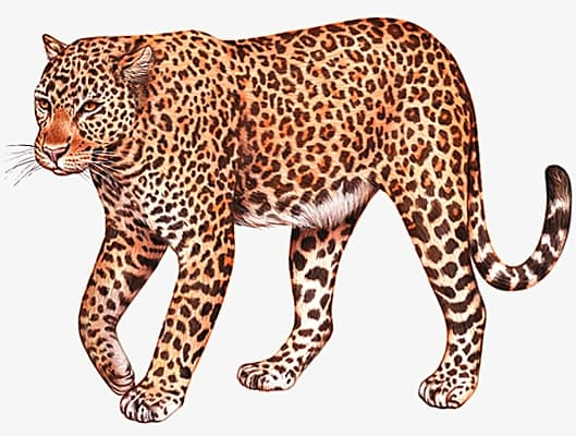 Léopard de barbarie