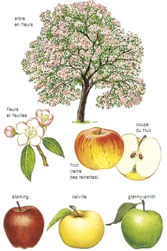 Encyclop die larousse en ligne pommier for Taille d un abricotier fruits