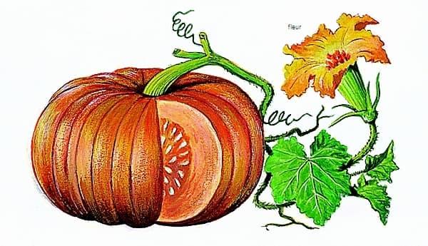 Encyclop die larousse en ligne l gume latin legumen inis - Dessin courge ...