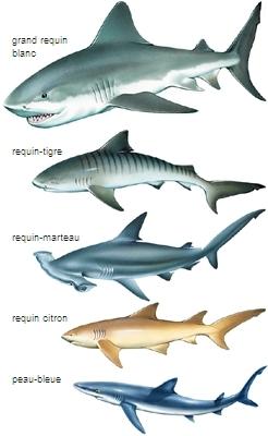 mâchoire de requin blanc