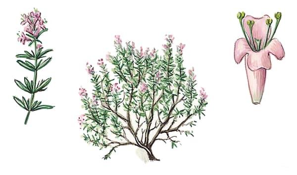 Thym for Conseils en jardinage