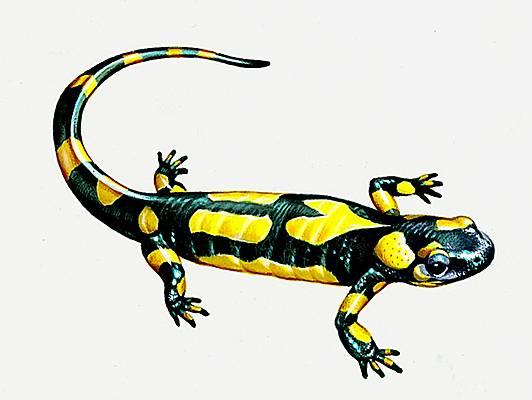 Encyclopédie Larousse en ligne - Salamandre