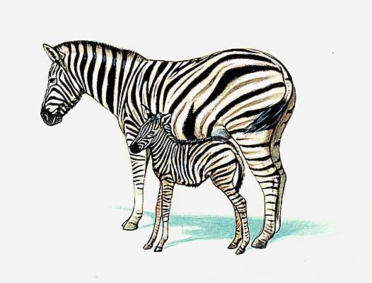 encyclopedie zebre