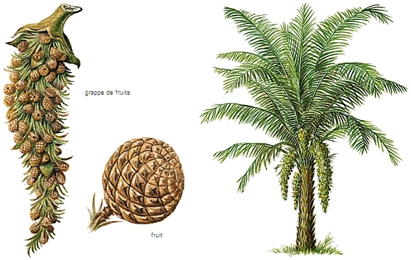 encyclop die larousse en ligne palmier de palme. Black Bedroom Furniture Sets. Home Design Ideas
