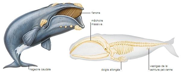 baleineau en repos sous la baleine