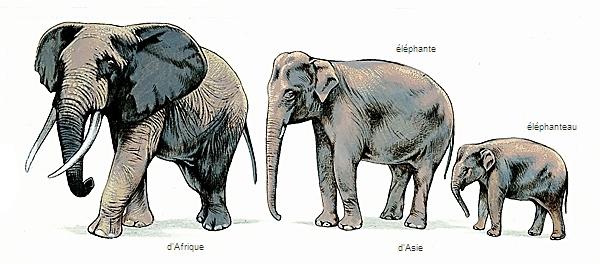 Encyclop die larousse en ligne l phant latin elephantus du grec elephas antos - Dessin d un elephant ...
