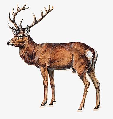 Encyclop die larousse en ligne cerf latin cervus - Comment dessiner un cerf ...