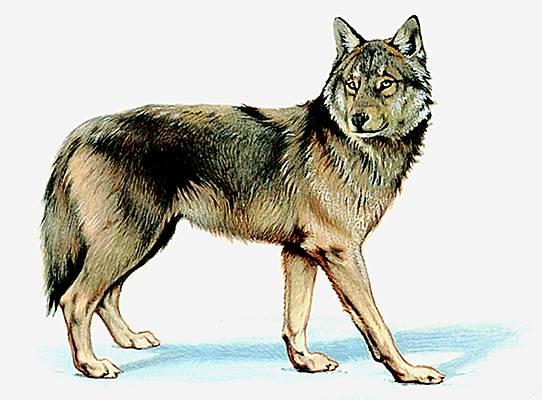 Encyclop die larousse en ligne loup - Un loup dessin ...