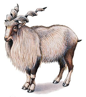 Encyclopédie Larousse en ligne - chèvre latin capra féminin de caper ... bc2a80859e5