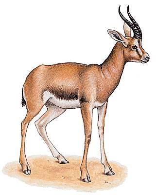 Encyclop die larousse en ligne antilope latin m di val antholops animal fabuleux du grec - Gazelle dessin ...