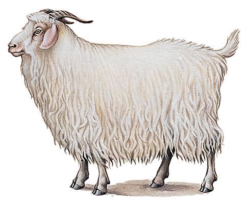 Encyclopédie Larousse en ligne - Chèvre angora cce3a8a6ed9
