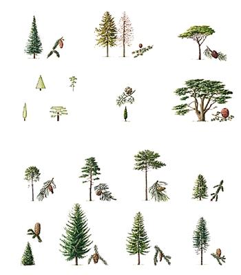 encyclop die larousse en ligne arbre latin arbor oris. Black Bedroom Furniture Sets. Home Design Ideas