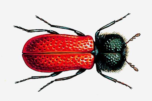 Encyclop die larousse en ligne xylophage grec for Insecte qui mange le bois
