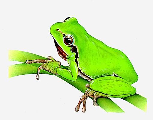 Encyclop die larousse en ligne rainette - Dessin de grenouille verte ...