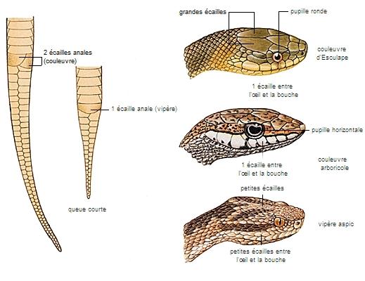 Encyclop die larousse en ligne vip re et couleuvres identification - Dessin de vipere ...