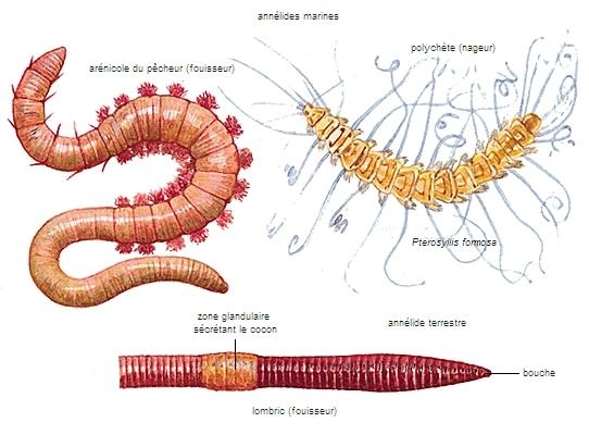 5 parasites qui vivent dans le corps humain for Eliminer les vers