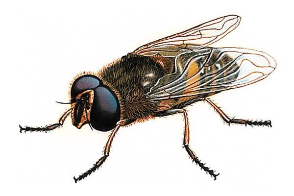Encyclop die larousse en ligne mouche latin musca - Dessin de mouche ...