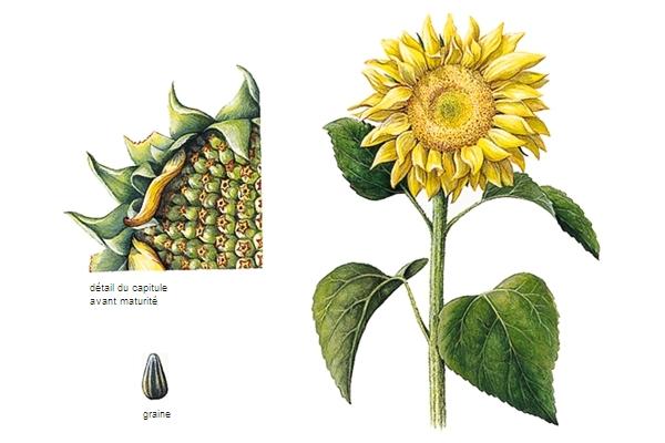 Encyclop die larousse en ligne tournesol italien tornasole de tornare tourner et sole soleil - Griller des graines de tournesol ...
