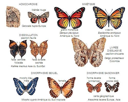 Encyclop die larousse en ligne papillon latin papillio onis - Images de papillon ...