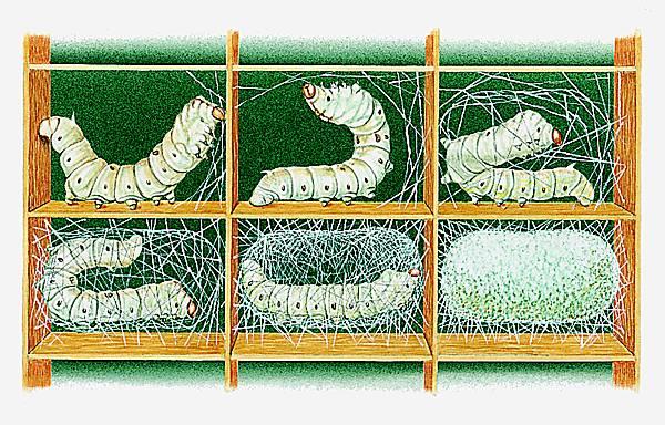 Sécrétion du cocon par des vers à soie