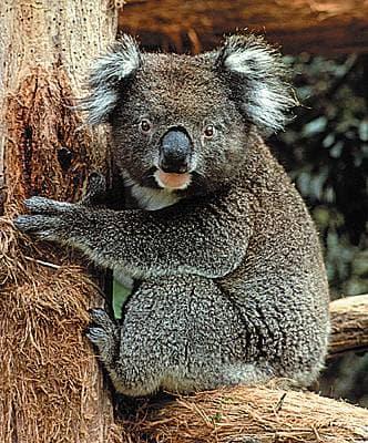 encyclopedie koala
