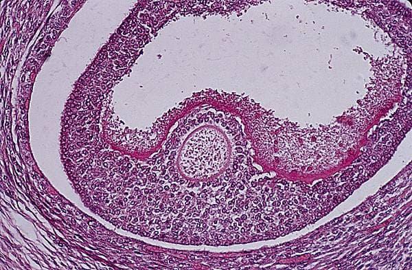 Encyclopédie Larousse en ligne - follicule ovarien ou