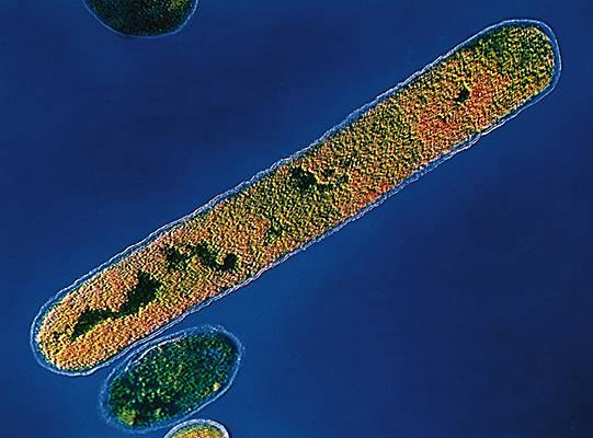Bacille de Nicolaier