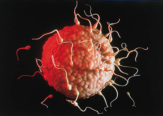 Image rencontre spermatozoide ovule