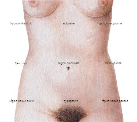 Encyclopédie Larousse en ligne - Régions de l\'abdomen