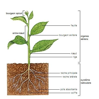 Encyclop die larousse en ligne racine bas latin radicina for Catalogue fleurs et plantes