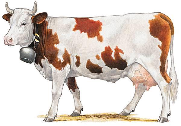 Encyclop die larousse en ligne bovin - Vache en dessin ...
