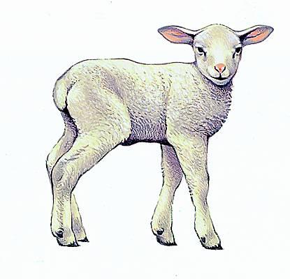Encyclop die larousse en ligne agneau - Dessin agneau ...