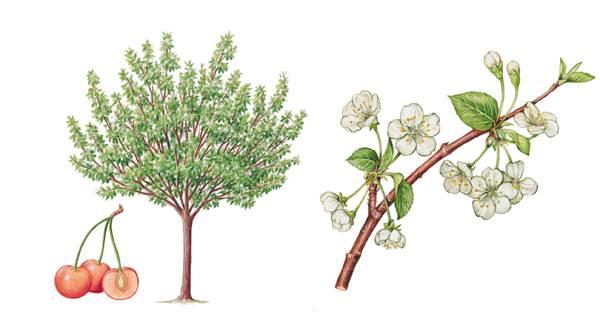 encyclop die larousse en ligne recherche le cerisier a fruit en automne r sultats 1 20 de 40. Black Bedroom Furniture Sets. Home Design Ideas