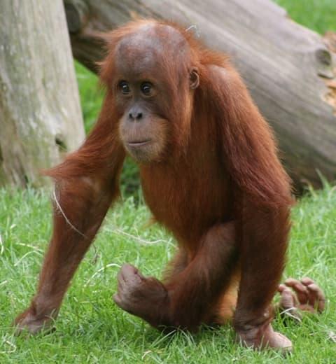 Hervorragend Encyclopédie Larousse en ligne - orang-outan PR85