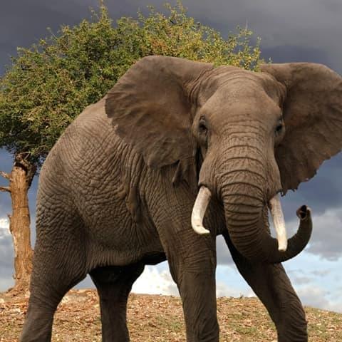 Encyclop die larousse en ligne l phant latin elephantus du grec elephas antos - Photos d elephants gratuites ...