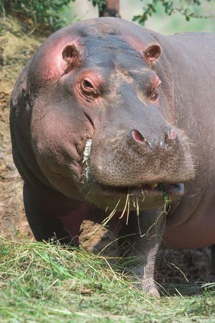 Le vrai visage de XxJumboxX 1309514-Hippopotame