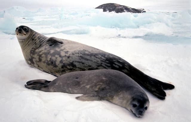 Encyclopdie Larousse en ligne - Cris d'un groupe de phoques