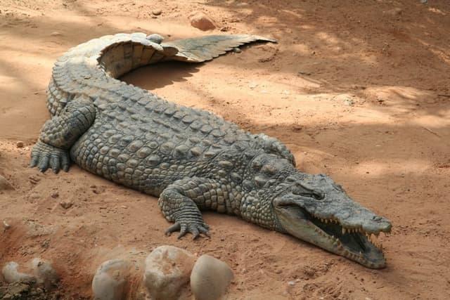 Encyclopedie Larousse En Ligne Crocodile