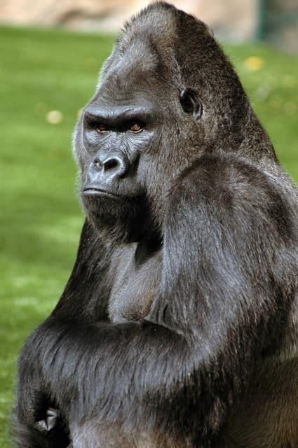 Top Encyclopédie Larousse en ligne - gorille ID11