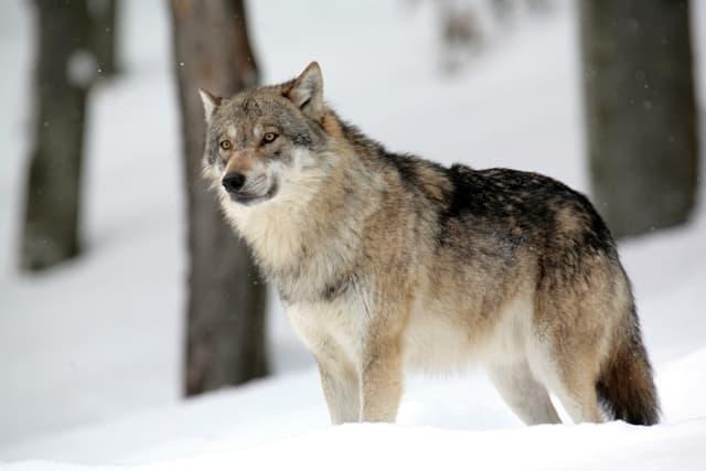 Encyclop die larousse en ligne chien - Image de loup a imprimer ...