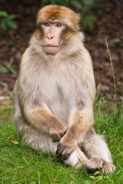 Macaque avec le cul rouge