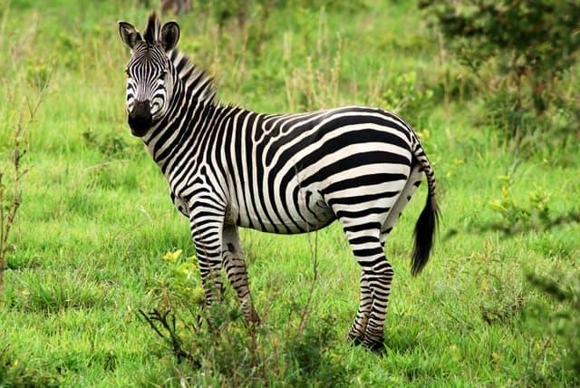 Encyclop die larousse en ligne z bre portugais zebra - Zebre a dessiner ...