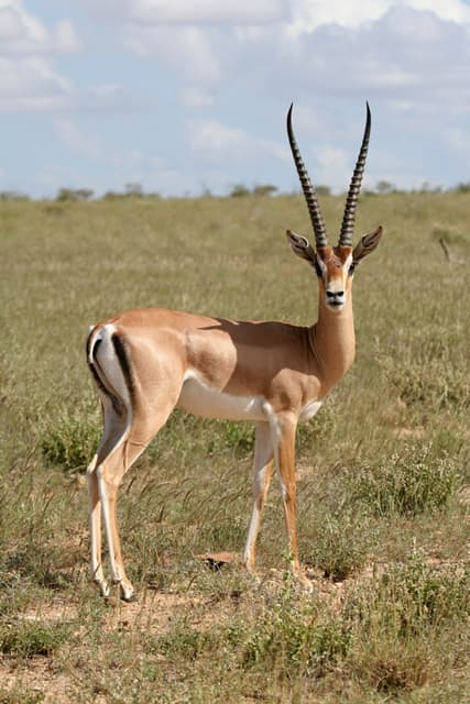 gazelle - LAROUSSE