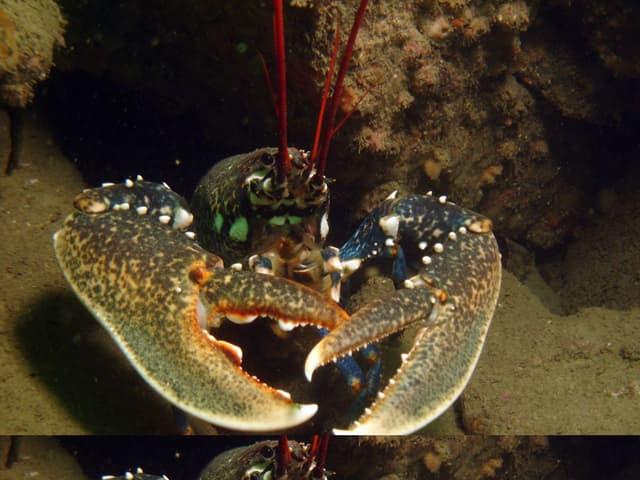 Comment pecher le homard a pied - Comment cuisiner le homard ...