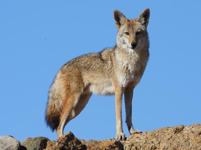 encyclop die larousse en ligne coyote espagnol coyote du. Black Bedroom Furniture Sets. Home Design Ideas