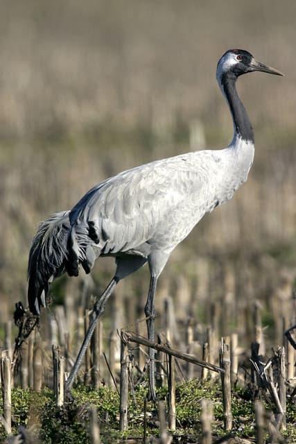 Cendre Crane