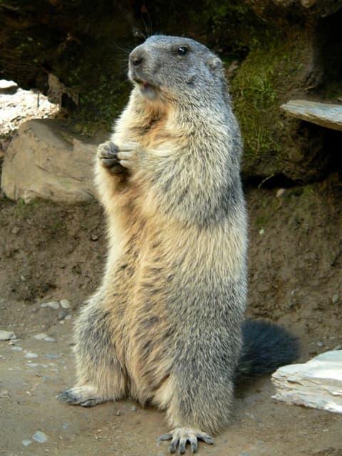 Encyclopédie Larousse en ligne - Marmotte
